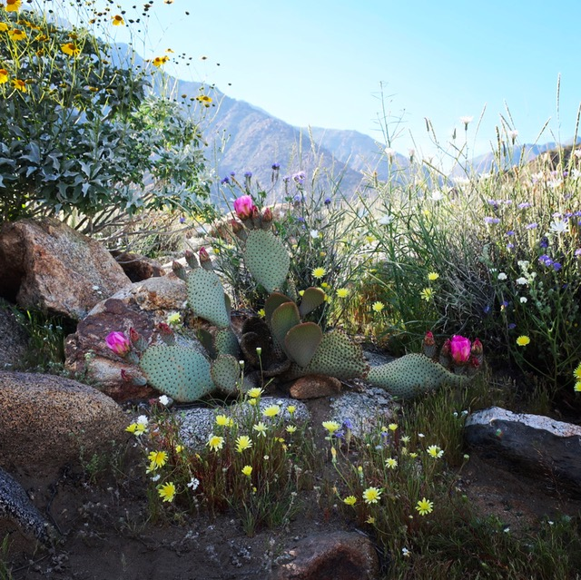 Image of Desert Bloom Cactus