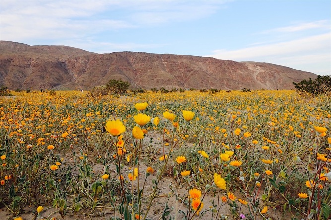 Image of desert flower field.