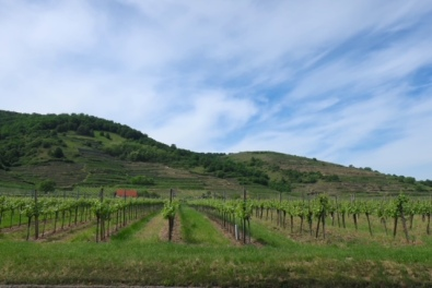Image of the vineyards on the Danube Bike Path