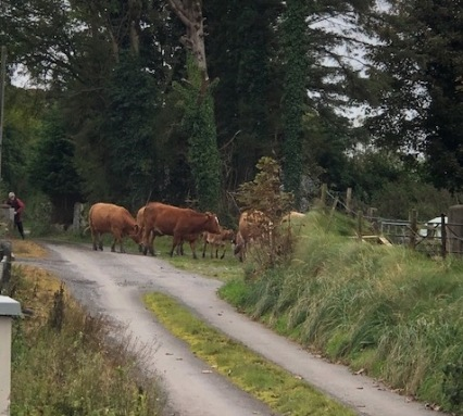 Image of cows crossing in front of a small road.