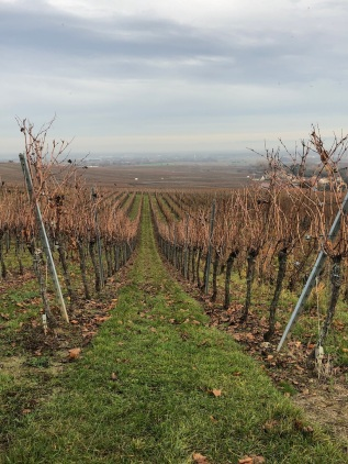 Image of vineyards near Riquewihr